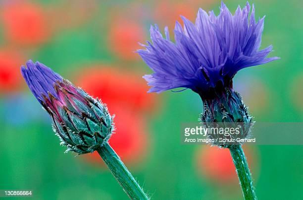 Cornflower, Isle of Rugen, Mecklenburg-Western Pommerania, Germany / (Centaurea cyanus)