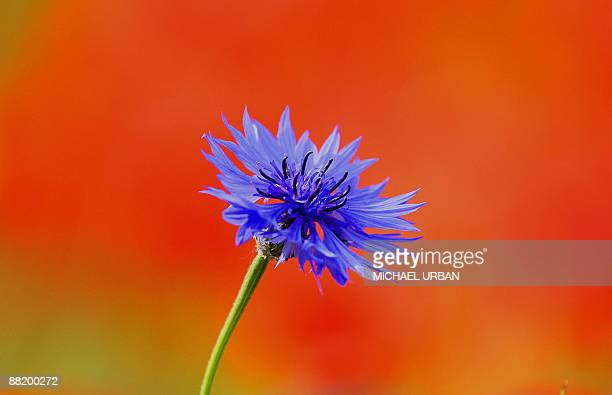 A cornflower stands on a field near Nauen eastern Germany on June 4 2009 Meteorologists forecast that spring will take a break during the following...