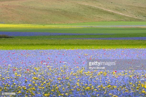 Cornflowers and barley fileds