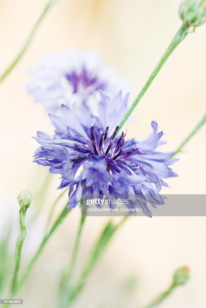 Cornflowers, close-up