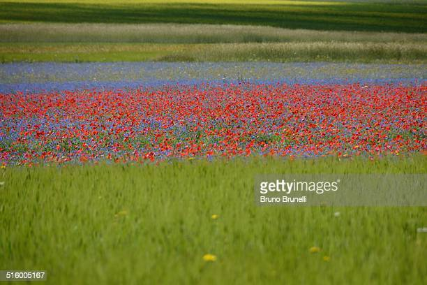 Cornflowers, poppies and barley fileds