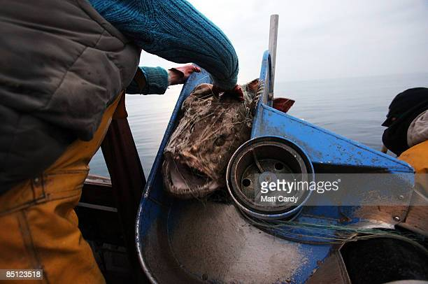 Cornish Fisherman Chris Bean brings aboard a monkfish caught using overnight nets a few miles out to sea near Helford on February 25 2009 in Cornwall...