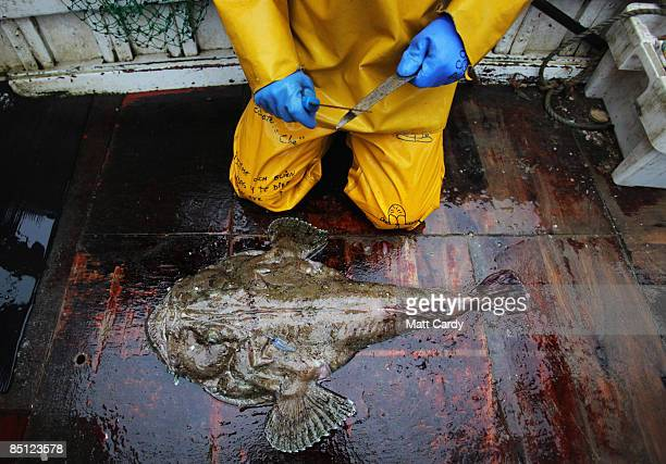 Cornish fisherman Chris Bean's crewmate Mario 'Chino' Rios begins to butcher on the deck of their vessel a monkfish caught using overnight nets a few...