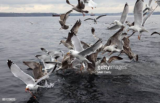 Cornish fisherman Chris Bean's crewmate Mario 'Chino' Rios throws into the sea and to the waiting gulls unwanted fish meat and waste from their...
