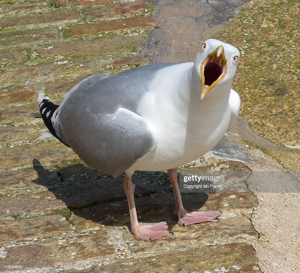 Cornish Gull : Stock Photo