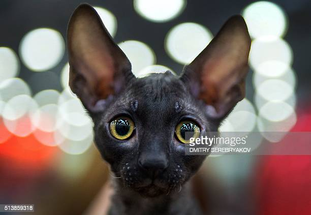 Cornish Rex breed cat attends the Catsburg 2016 International Cats show in Moscow on March 5 2016 / AFP / DMITRY SEREBRYAKOV