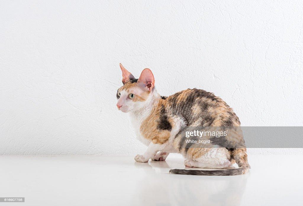 Cornish Rex Cat : Stock Photo