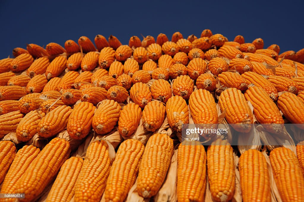 Corns : Stock Photo