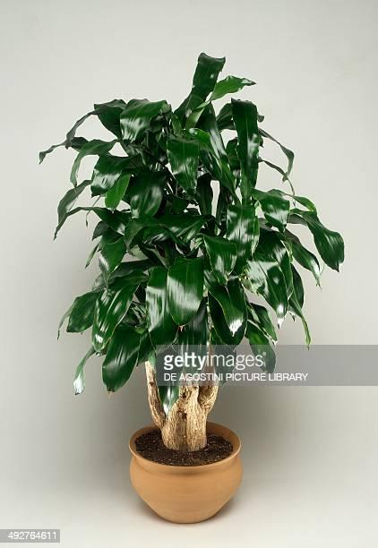 Cornstalk dracaena or Forest dracaena Asparagaceae