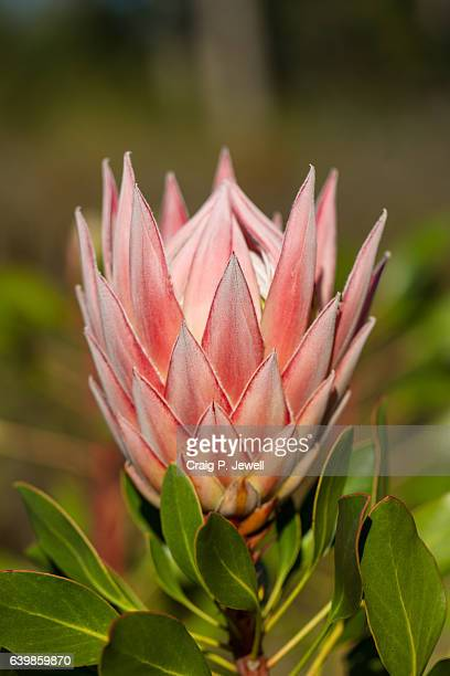 Coronet Protea with Natural Background