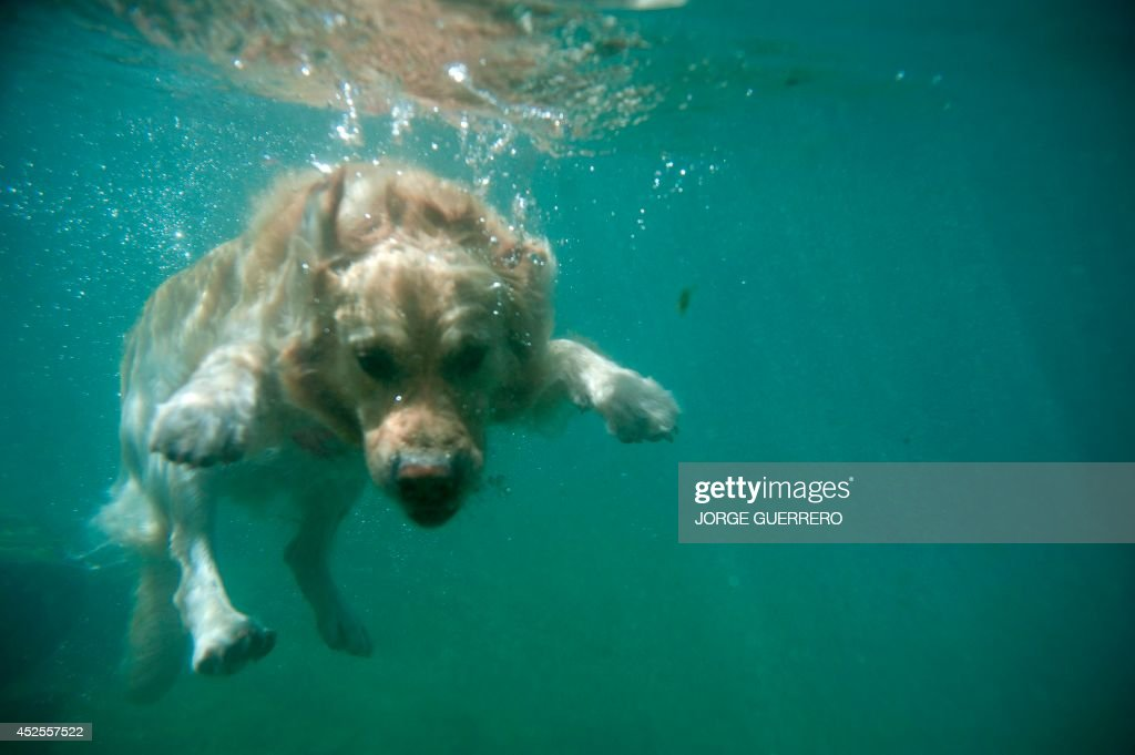 'Corso' the dog swims into the Guadiaro river at 'La Cueva del Gato' (The Cove of the Cat) during a hot summer day near Benaojan, in southern Spain on July 23 GUERRERO