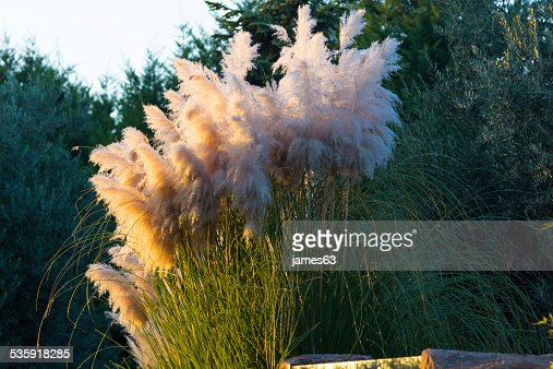 Cortaderia selloana pampas grass cortadera : Stock Photo