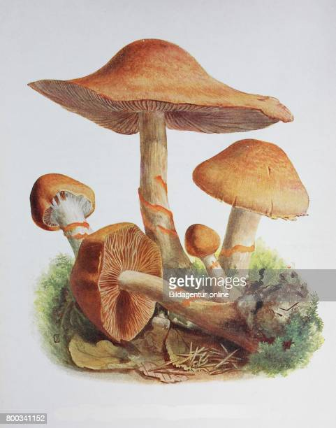 Cortinarius armillatus commonly known as the redbanded cortinarius is a late summer and autumn fungus usually found in moist coniferous forests...