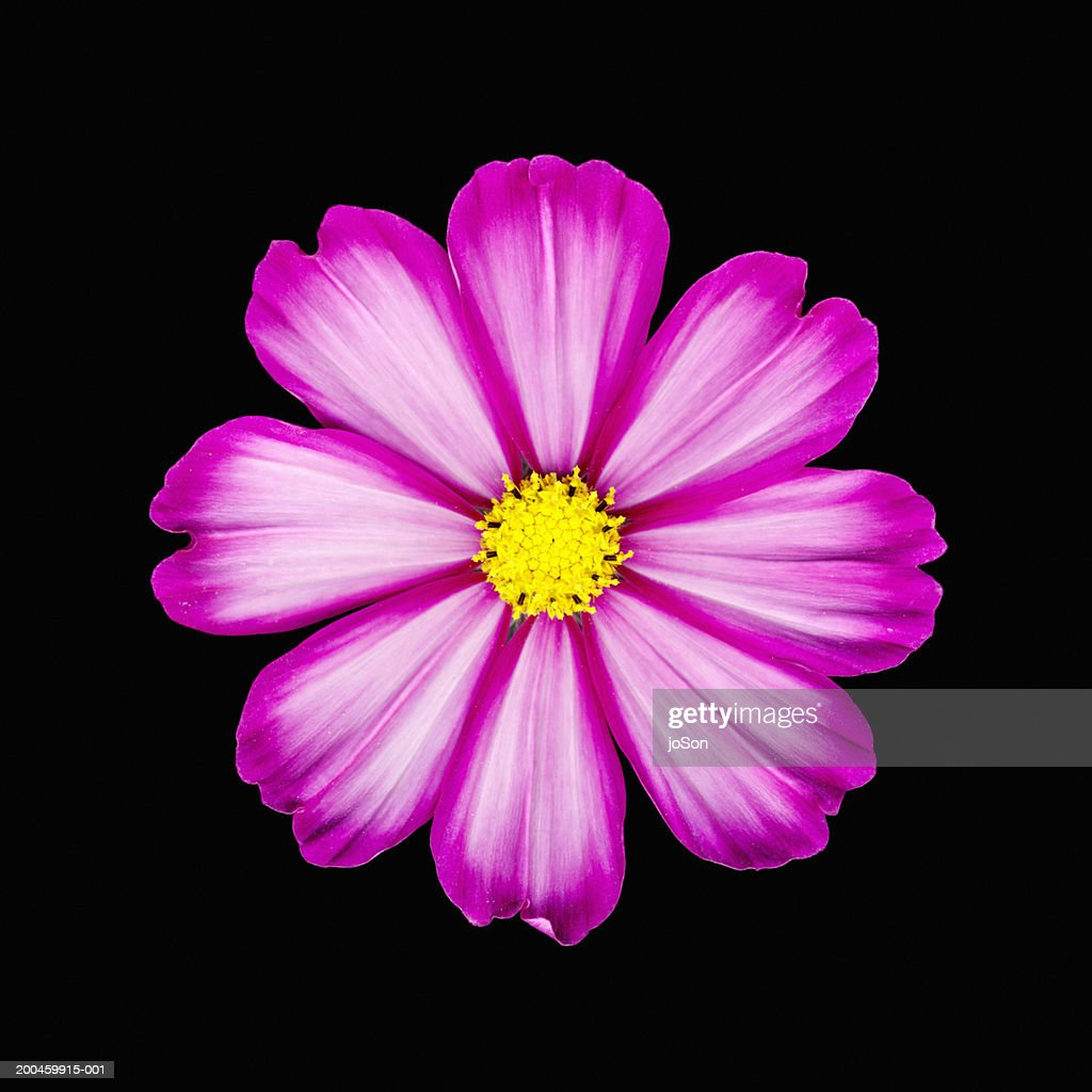 Cosmos flower (Cosmos bipinnatus) against black background, close-up : Stock Photo