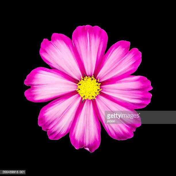 Cosmos flower (Cosmos bipinnatus) against black background, close-up