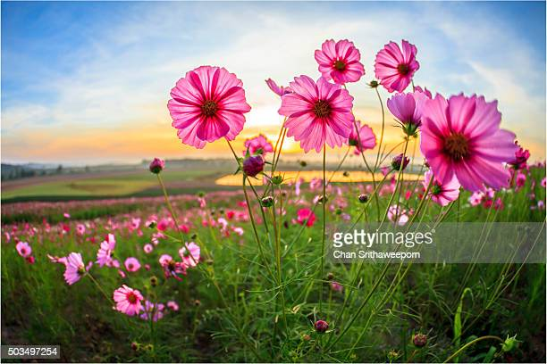 Cosmos flower at Boonrawd Farm, Chiang Rai