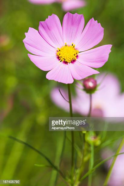 Cosmos flower delight - II