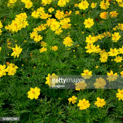 Cosmos flower in field : Stock Photo