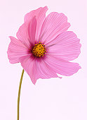 Cosmos flower in soft shades of pink.