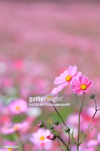Cosmos Flower : Stock Photo