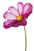 Studio Shot of Fuchsia Colored Cosmos Flower Isolated on White Background. Large Depth of Field (DOF). Macro.