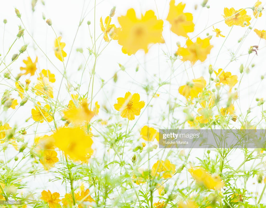 Cosmos flowers against sky : Stock Photo