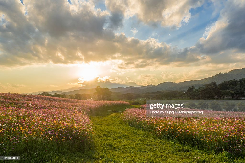 Cosmos flowers garden with sunset : Stock Photo