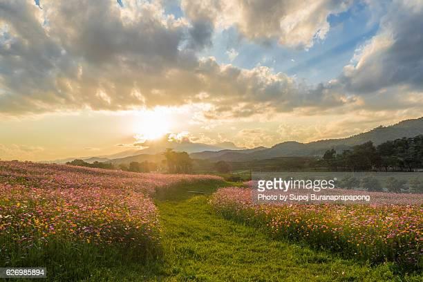 Cosmos flowers garden with sunset