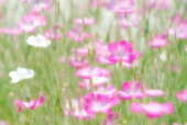 Cosmos flowers in a meadow, Osaka Prefecture, Japan,