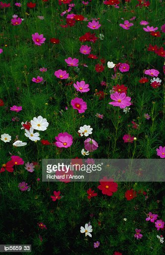 Cosmos flowers in bloom, Tono, Tohoku, Japan, Northeast Asia : Stock Photo