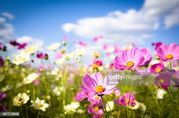 cosmos flowers in full bloom