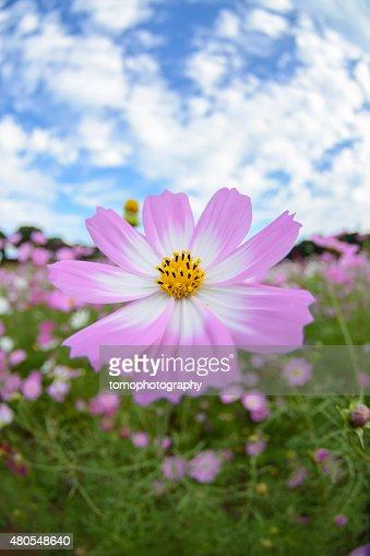 Cosmos flowers in Tenkaihou in Sasebo, Nagasaki, Japan. : Stock Photo