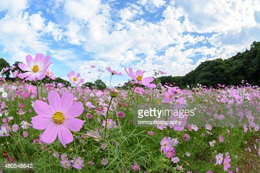 Cosmos flores em Tenkaihou em Sasebo, Nagasaki, Japão. : Foto de stock
