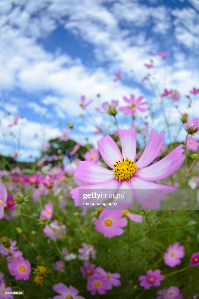 Cosmos flowers in Tenkaihou in Sasebo, Nagasaki, Japan. : Stock Photo