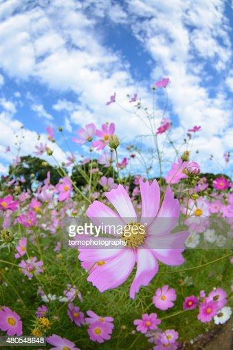Cosmos flowers in Tenkaihou en Sasebo, Nagasaki, Japón. : Foto de stock