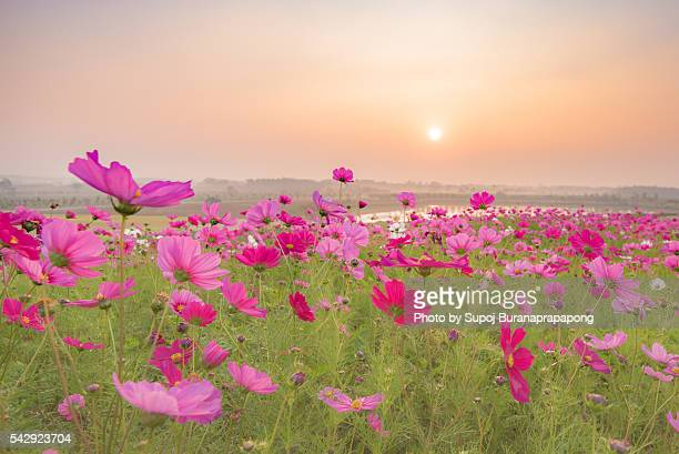 cosmos flowers in the morning
