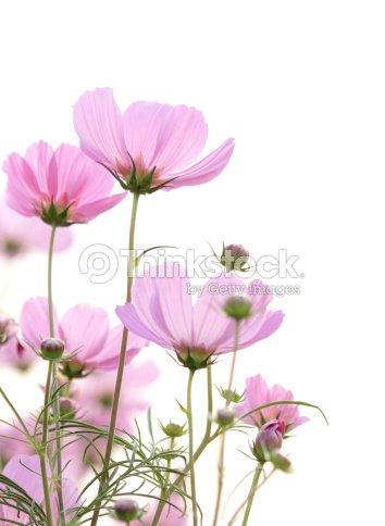 Kosmos Blumen Isoliert Auf Weiss Stock-Foto | Thinkstock