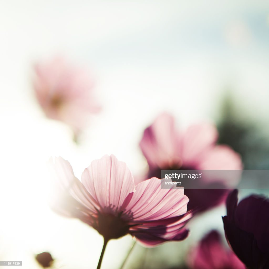 Cosmos flowers : Stock Photo