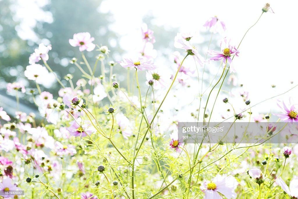 Cosmos flowers : Stock Photo