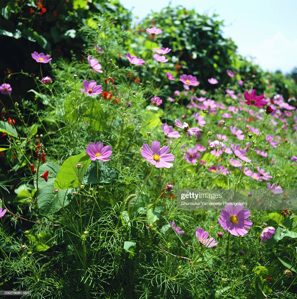 Cosmos (Cosmos bipinnatus) flowers : Stock Photo