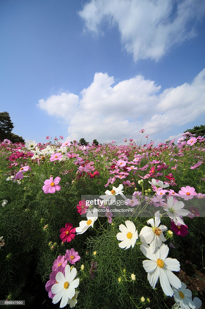 Cosmos flowers, Tokyo Prefecture, Honshu, Japan