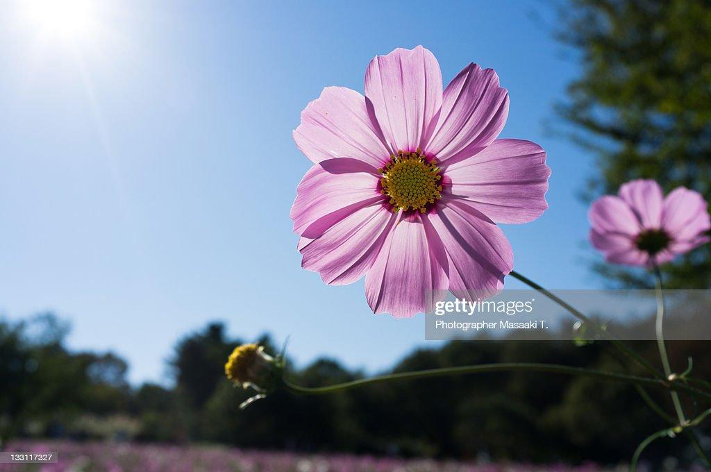 Cosmos pink flower : Foto de stock
