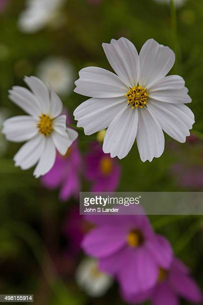 Cosmos plants are a part of the family Asteraceae The cosmos is a flowering plant that includes more than 20000 species It is also commonly called...