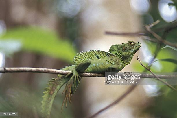 Costa Rica Cahuita National Park Plumed basilisk