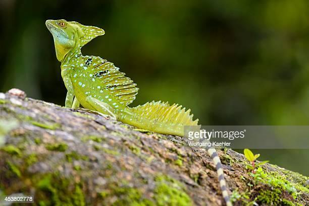 Costa Rica Cano Negro Green Basilisk Lizard On Tree