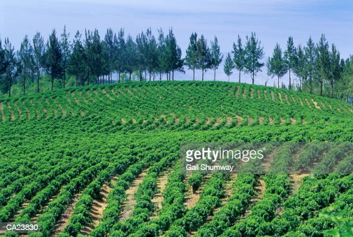 Costa Rica, coffee plantation : Foto de stock