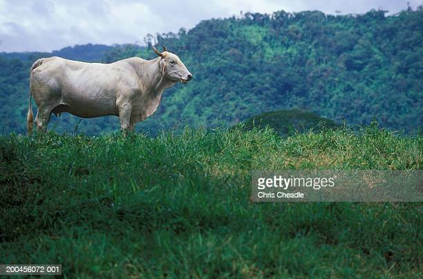 Costa Rica, Guancaste Province, Nicoya peninsula, Brahman cattle