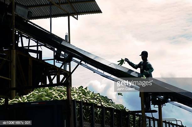 Costa Rica, man working on banana farm