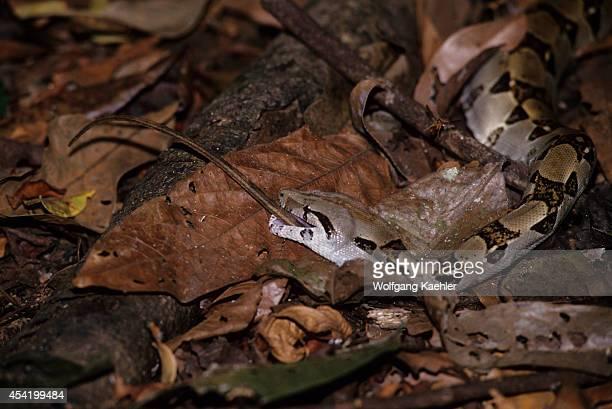 Costa Rica Manuel Antonio National Park Rain Forest Boa Constrictor Eating Lizard