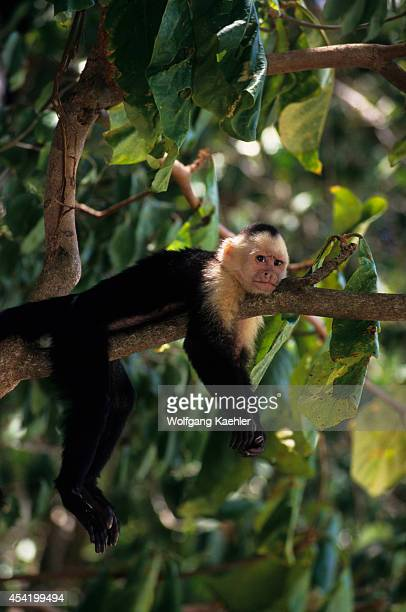 Costa Rica Manuel Antonio National Park Rain Forest Whitefaced Capuchin Monkey On Tree Branch
